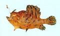 Antennarius hispidus