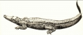 Crocodylus spp.