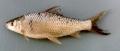 Cirrhinus molitorella