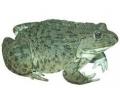 Hoplobatrachus rugulosus