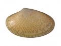 Paphia undulata