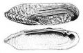 Lanceolaria fruhstorferi